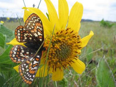 b2ap3_thumbnail_800px-Taylor_checkerspot_butterfly_on_yellowish_flower_euphydryas_editha_taylori.jpg
